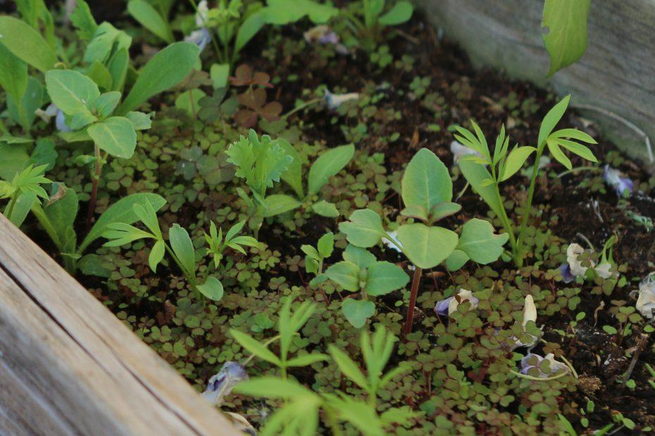 biodiversity area — wildflower seedlings